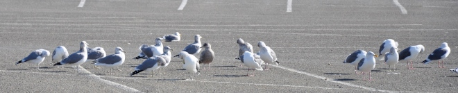 Gulls_cropped