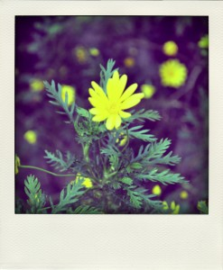 yellow flwr-pola