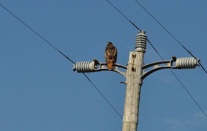 Hawk on pole